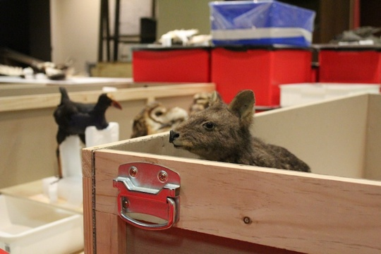 wallaby_packing_up