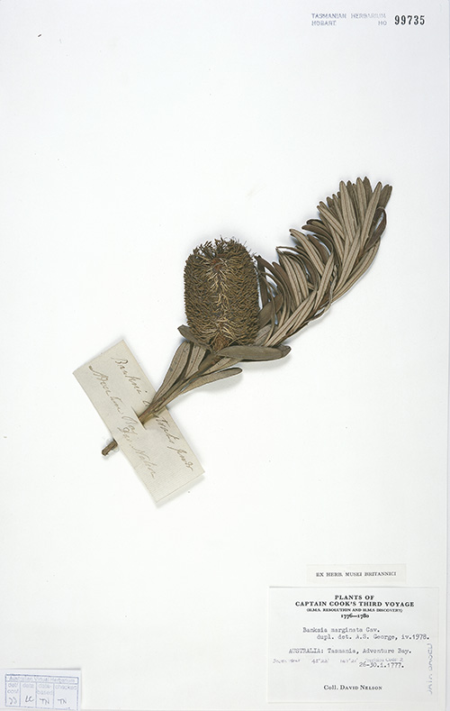 Nelson Banksia