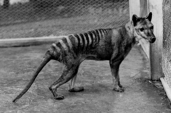 Thylacine at Beaumaris Zoo
