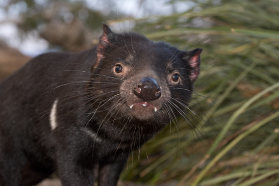 tasmanian museum and art gallery the remarkable tasmanian devil