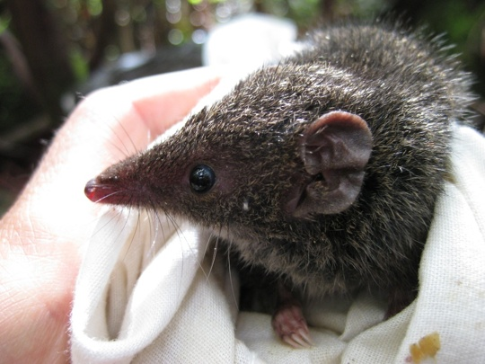 A_Dusky_Antechinus_just_prior_to_release_in_the_Wellington_Ranges_-_web_copy